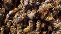 Swarm, Nature's Incredible Invasions   Part 2  (11th January 2009) [HDTV 720p (x264)] preview 13