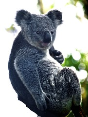 Cool Koala (Erik K Veland) Tags: pet pets tree cute nature topf25 animal animals fur gold coast furry soft teddy native wildlife australian fluffy australia olympus koala teddybear qld queensland mostinteresting e300 cuteness marsupial southaustralia cutest sanctuary  herbivore currumbin koalas dropbear babyanimals currumbinwildlifesanctuary animallovers cotcmostinteresting parkstock phascolarctoscinereus nativeanimals phascolarctidae impressedbeauty superaplus aplusphoto akoalaisnotabear