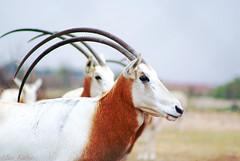 .. Arabic Oryx ..   (Maryam.Ibrahim) Tags: arabic oryx