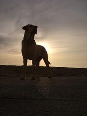 The Lion King (MaraJess) Tags: dog pet labrador perro silueta duna mascota