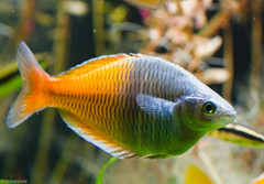 Bosemani Rainbowfish