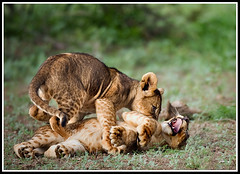 cry baby (A.M.G.1) Tags: animals african wildlife lion lioncubs borntobewild goodman andygoodman southernafrica naturesfinest 50faves 10faves 25faves specanimal btbw goodmanandy vosplusbellesphotos flickrbigcats wildcatworld wildlifeinsouthernafrica africanwildlifephotographer wildilfephotographer