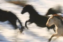 four-wild-horses