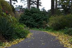 Strybing Pathway (Eric Hunt.) Tags: sanfrancisco california tree leaves yellow aloe trunk strybing asphodelaceae pathway fallenleaves conifer podocarpus podocarpaceae xanthorrhoeaceae