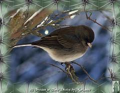 FBI: P2260016+1 CHECKIN' THINGS OUT..... HOPE YOU HAVE A GREAT WEEK... (Frozen in Time photos by Marianne AWAY OFF/ON) Tags: bird nature birds bokeh wildlife animalplanet fbi allgodscreatures darkeyedjunco juncohyemalis musictomyeyes featheredfriends naturesfinest blueribbonwinner backyardbirds birdlovers youlookinatme favorites5 friends~ hiddentreasure framedphotos birdsinbackyards backyardphotography bokehsmoothsilky flickrnature beautifulbirdbokeh birdpix nationalgeographicwannabes faithfulflickrfriends nationalgeographicareyougoodenough blueribbonphotography flickrdiamond jerseybirders flickrbronzeaward fantasticbirdshots citrit citritbestofyours favoritesbyinterestingness naturephotoshp birdfanaticsnolimits heartawards prettynaturephotos birdpix3day theunforgettablepictures flickrgreen onebirdonalonelytree anawesomecloseupnopeople goldsealofquality betterthangood theperfectphotographer goldstaraward flickrnaturewildlifeshowcase arealgem ilovemypics spiritofphotography natureunlimitedpublicgroupforever photowatermarkframes beautifulshot screamofthephotographer theunforgettablepictures~ naturegreenstar letstalkaboutloveandpeaceinnature walkinonby citrit5awards outdoorphotographyagroupthatsaveswildlifewithpictures nationalgeographiswannabes