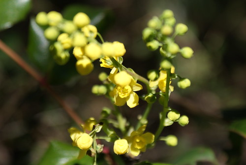Oregon Grape Flower