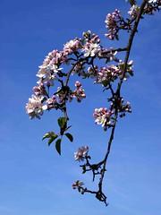 Spring Blossom (saxonfenken) Tags: blue spring blossom 206 thumbsup treeblossom e500 gamewinner apr2009 rape22nd pregamewinner tree206