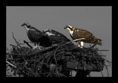 farewell, little osprey (philliefan99) Tags: blackandwhite bw nature birds nest nps raptor dcist nationalparkservice potomacriver osprey birdofprey pandionhaliaetus selectivecolor alexandriavirginia fairfaxcounty georgewashingtonmemorialparkway bellehavenmarina