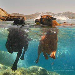 doggy paddle () Tags: sardegna dog dogs andy water cane swimming photoshop funny mediterranean mediterraneo sardinia underwater action andrea andrew surface acqua cani superficie azione lamaddalena piras benedetti sottacqua halfinhalfout nuotando halfunderwater vertorama  canonwpdc17underwaterhousingforcanonsd870isdigital mezzofuorimezzodentro