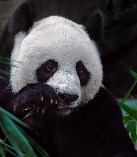 ~ Panda ~