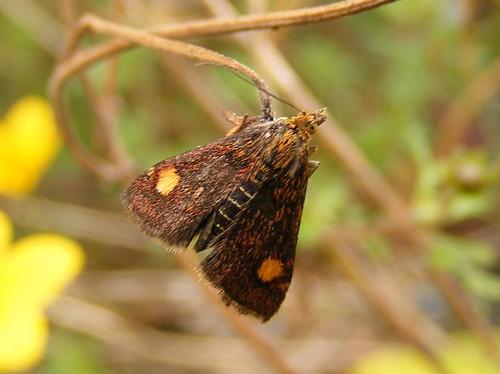 Mintmoth (Pyrausta aurata)