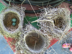 Bird nests from the stage rafters