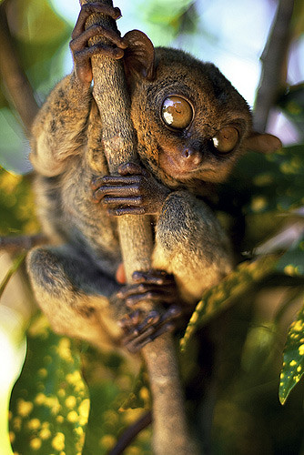 tarsier-philippines-07 by you.