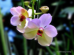 Vanda Orchid (for V) (mang M) Tags: orchid flower planta garden philippines it orchidaceae vanda filipinas bulaklak pilipinas angiosperms monocots asparagales halamanan epidendroideae pinoykodakero aeridinae manilaseedlingbank pinoymacro vandeae mangmaning2000