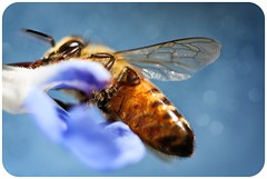 Bee Beneath (Mahnie) Tags: bee flower wings beneath underneath blue bokeh canon 450d 100mm macro f28 explore rounded corners