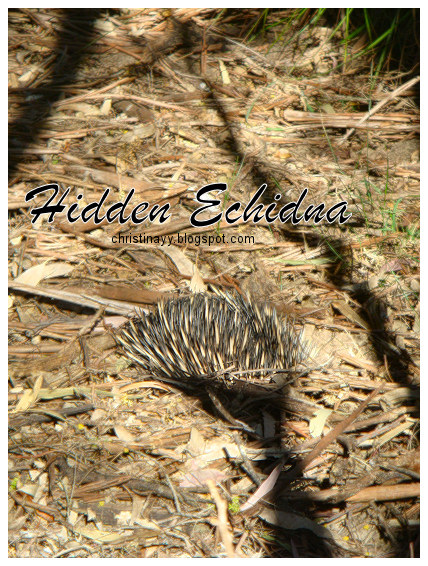 Crows Nest National Park: Echidna