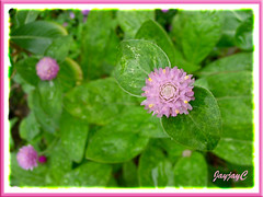 Our Pink-coloured Gomphrena globosa flowered for the first time late August. Shot Sept 2 2009