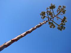 diagonal desert flora (ix 2015) Tags: cactus mxico mexico flora desert diagonal zacatecas desierto pinos oblicuo oblicua israfel67