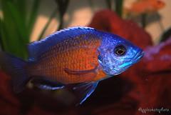 Copadichromis borleyi  Kadango (7) (Appleskatephoto) Tags: fish tank malawi cichlids ciclidos mbunas