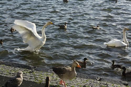 Reykjavik pond feeding time
