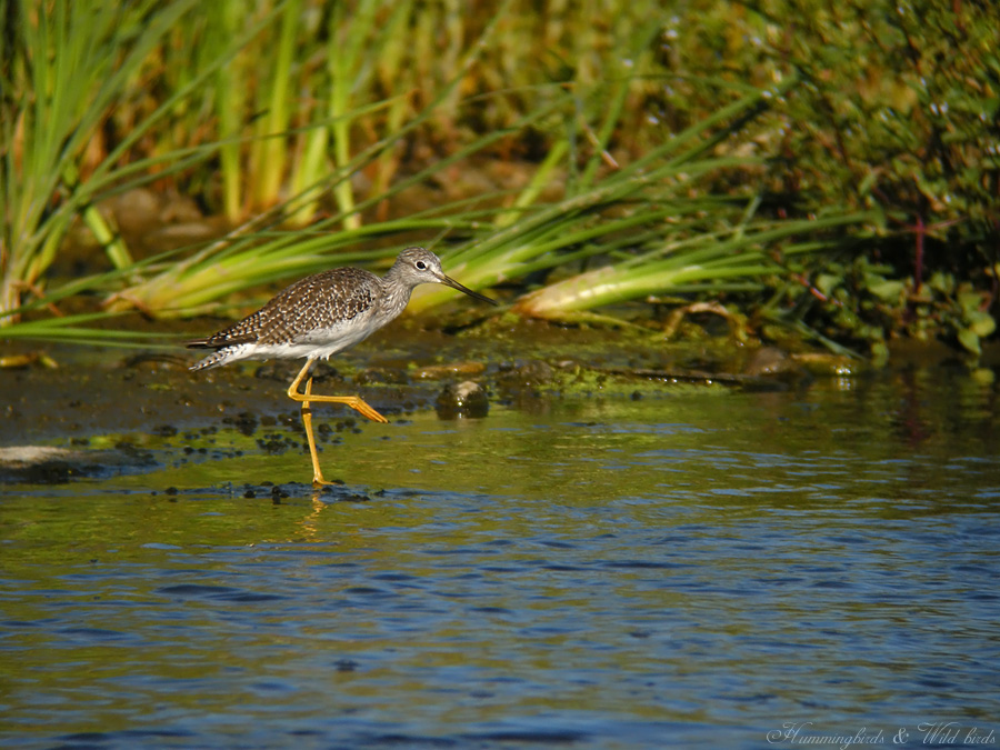 Greater Yellowlegs09091