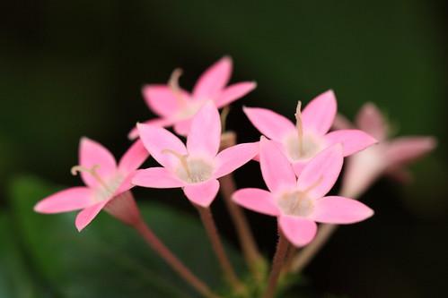 フリー画像| 花/フラワー| 草山丹花/クササンタンカ| ピンク/花|        フリー素材|