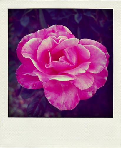 fall rose.