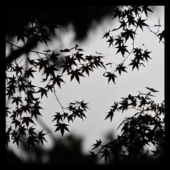 autumn leaves (shmc5hamer) Tags: autumn monochrome japan garden nikon kyoto d300