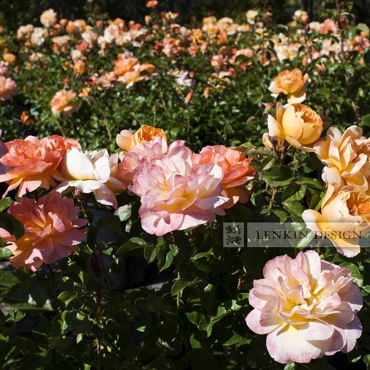 HL-Rose-04.29.10-022