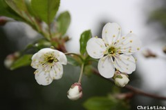 ~ cherry flowers ~ (Elsa Kurppa) Tags: flower cherry blomma cerasus 2011 kukka  krsbr kirsikka  elsakurppa