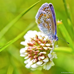 Common Blue on Clover (Richard Beech (rdb75)) Tags: blue macro nature canon butterfly insect dorset clover commonblue wareham sigma15028macro richardbeech rdb75