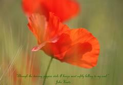 Dancing Poppies (nondesigner59) Tags: red flower nature flora dancing poppy 100views breeze johnkeats fieldmargin eos50d naturewatcher nondesigner nd59 naturesgreenpeace mothernaturesgreenearth