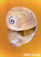 The Golden Shell (Mimi Ditchie) Tags: macro mirror shell