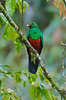 Pharomachrus auriceps (Primeval Nature) Tags: male green bird southamerica nature birds ecuador wildlife andes jag andean quetzal redandgreen trogon mindo pichincha pharomachrusauriceps goldenheadedquetzal quetzals trogonidae