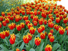 Tulips (Pat's Pics36) Tags: flower tulips laconner sonydscf707 potofgold anuniverseofflowers