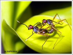 Stilt Fly (Ericbronson's Photography) Tags: nature fly singapore stilt pasir ris potofgold blueribbonwinner golddragon platinumphoto aplusphoto ericbronson ahqmacro