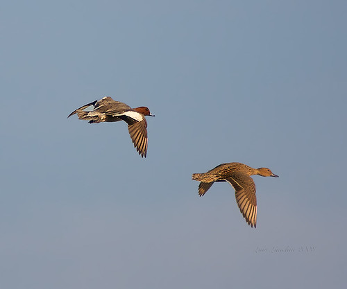 Eurasian Wigeon Male and Female (Anas penelope) by slr2006.