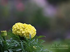 ما دام قلبي يا اريش العين مغليك (ДĿΚußαisї) Tags: flower london canon you s miss brb 24105mm 50d alkubaisi