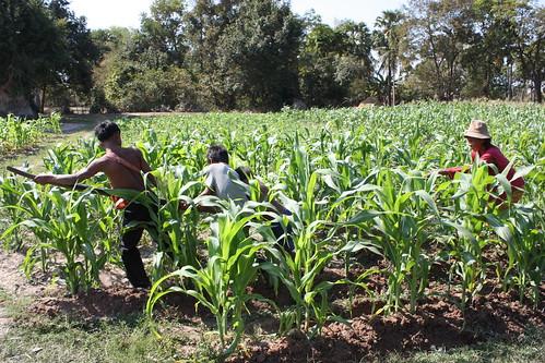 Agricultura en el Sudeste Asiático (Parte 2)