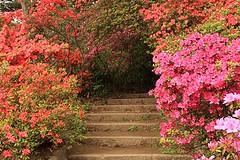 Rikugien Gardens (rockcake) Tags: pink red japan canon tokyo japanesegarden steps azalea 六義園 つつじ 石段 日本庭園 rikugiengardens eoskissx2 efs18200mmf3556is