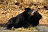 ADS_00000826 (dickysingh) Tags: bear india water outdoor aditya singh slothbear dicky tadoba adityasingh ranthamborebagh theranthambhorebagh tadobaandharitigerreserve wwwranthambhorecom