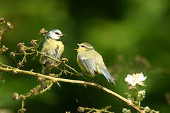 Blue Tit feeding (Henry Ransby) Tags: uk blue birds tits feeding wildlife young parent instinct