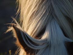 Flaxen Mane (sydmanning1000) Tags: light sunset portrait horse eye beautiful face sunrise nose paint mare tail dramatic pasture ear mane pinto westwind gelding