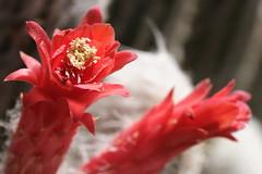 Oreocereus doelzianus var. sericatus (Van in LA) Tags: flowers red ...