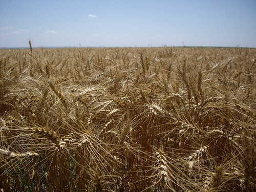a field of ripe wheat in Kansas