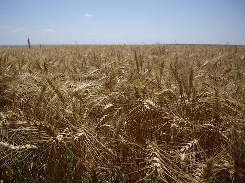 a field of ripe wheat in Kansas