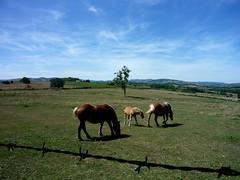super poulain (nicouze) Tags: leica blue horses france green landscape vert bleu ciel beaujolais hd paysage champ chevaux poulain paturage sarcey clux3