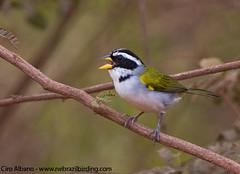 São Francisco Sparrow_Arremon franciscanus