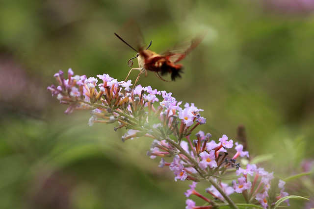Hummingbird Clearwing - Hodges#7853 (Hemaris thysbe)