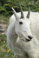 glacier (Kathy~) Tags: animal goat mountaingoat white glaciernationalpark glacier montana horns kindalookslikeaunicorn hero winner herowinner cw fc instagram ff
